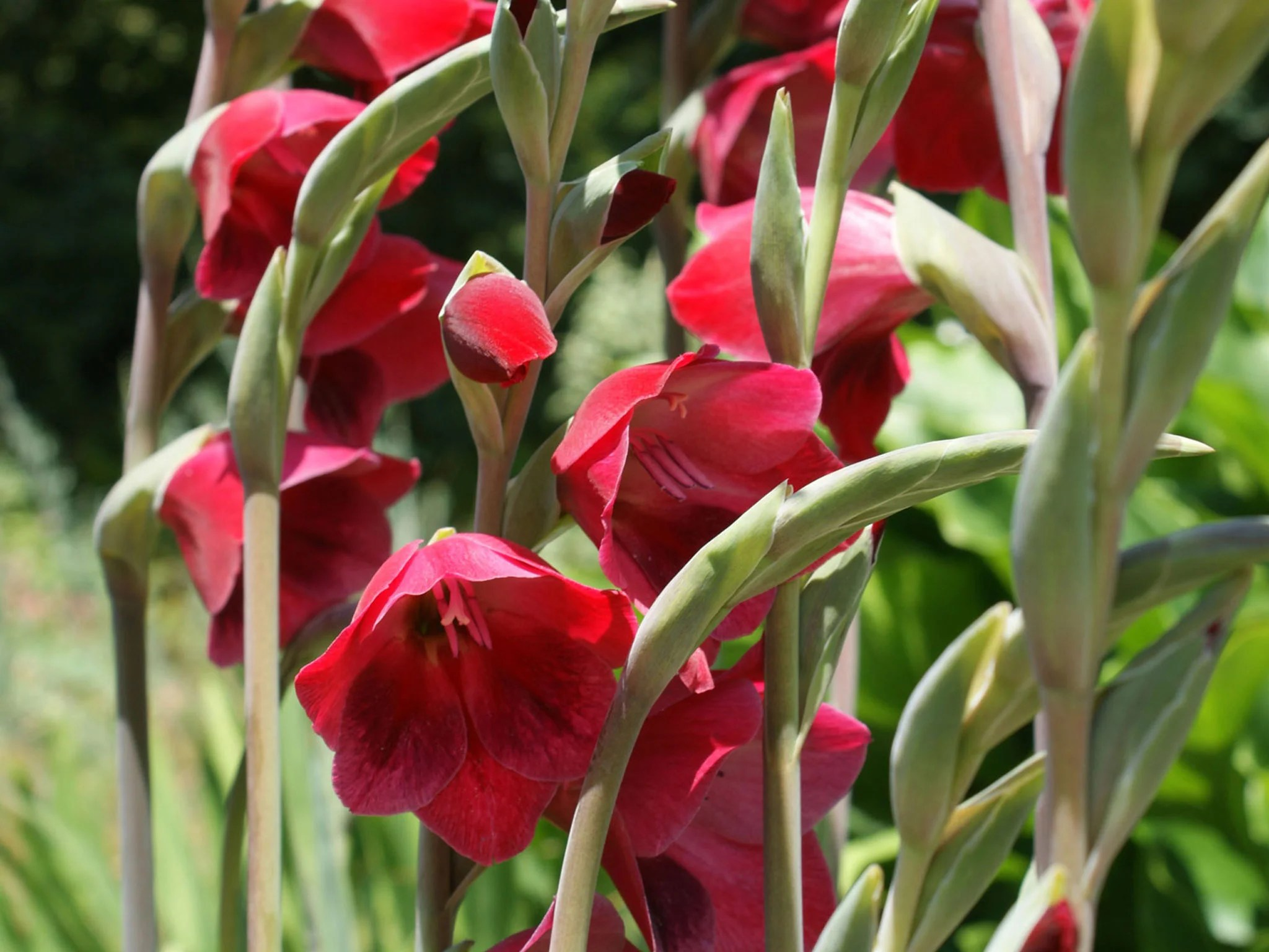 Bos Gladiolen Gladioli Are Among The Best Bulbs To Plant Now For Flowers