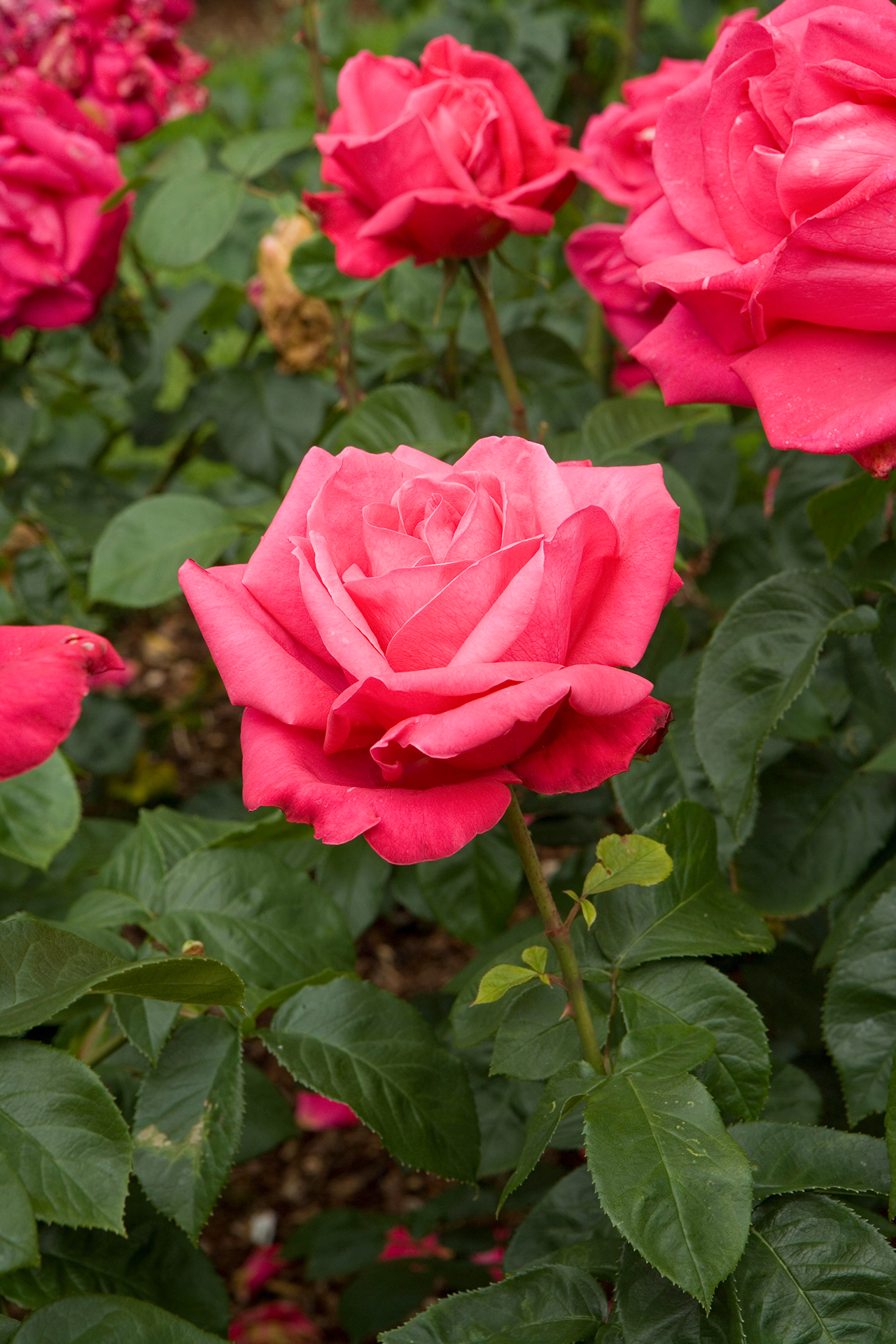 Rose Tips For Pruning Roses Better Homes Gardens