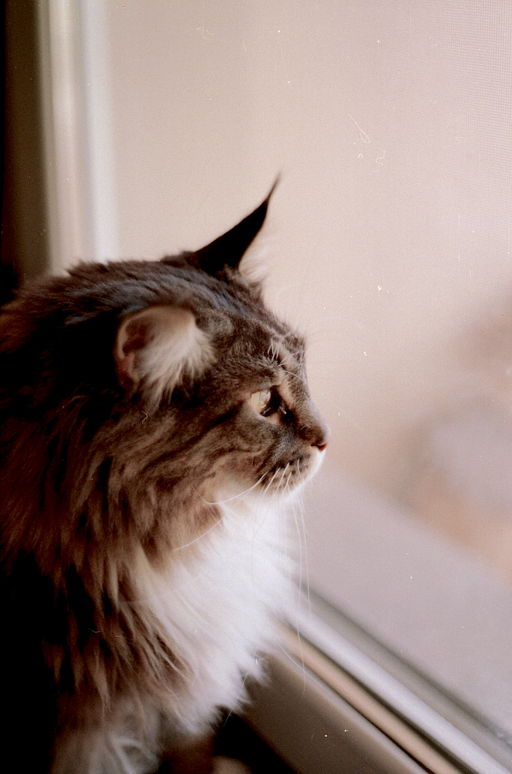 Cat Cute Wallpaper Download Brown And Gray Haired Cat Looking Out The Glass Window
