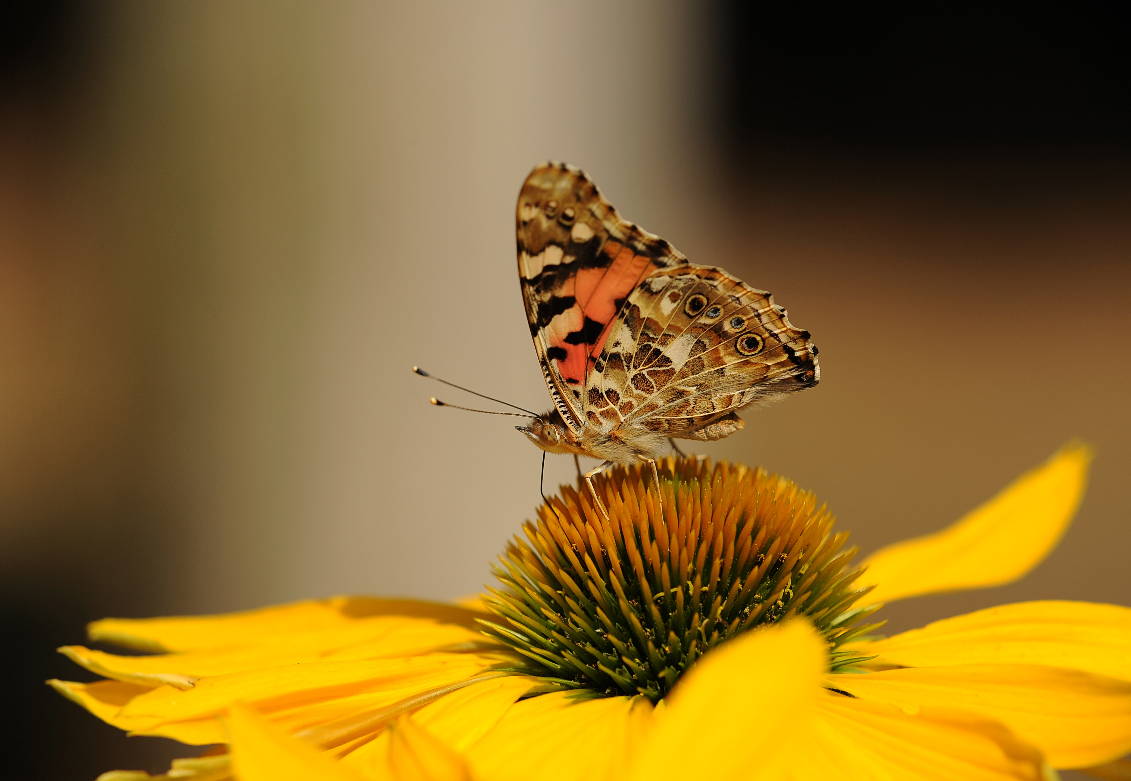Black And Yellow Wallpaper Brown And Black Butterfly On Top Of Yellow Sunflower On