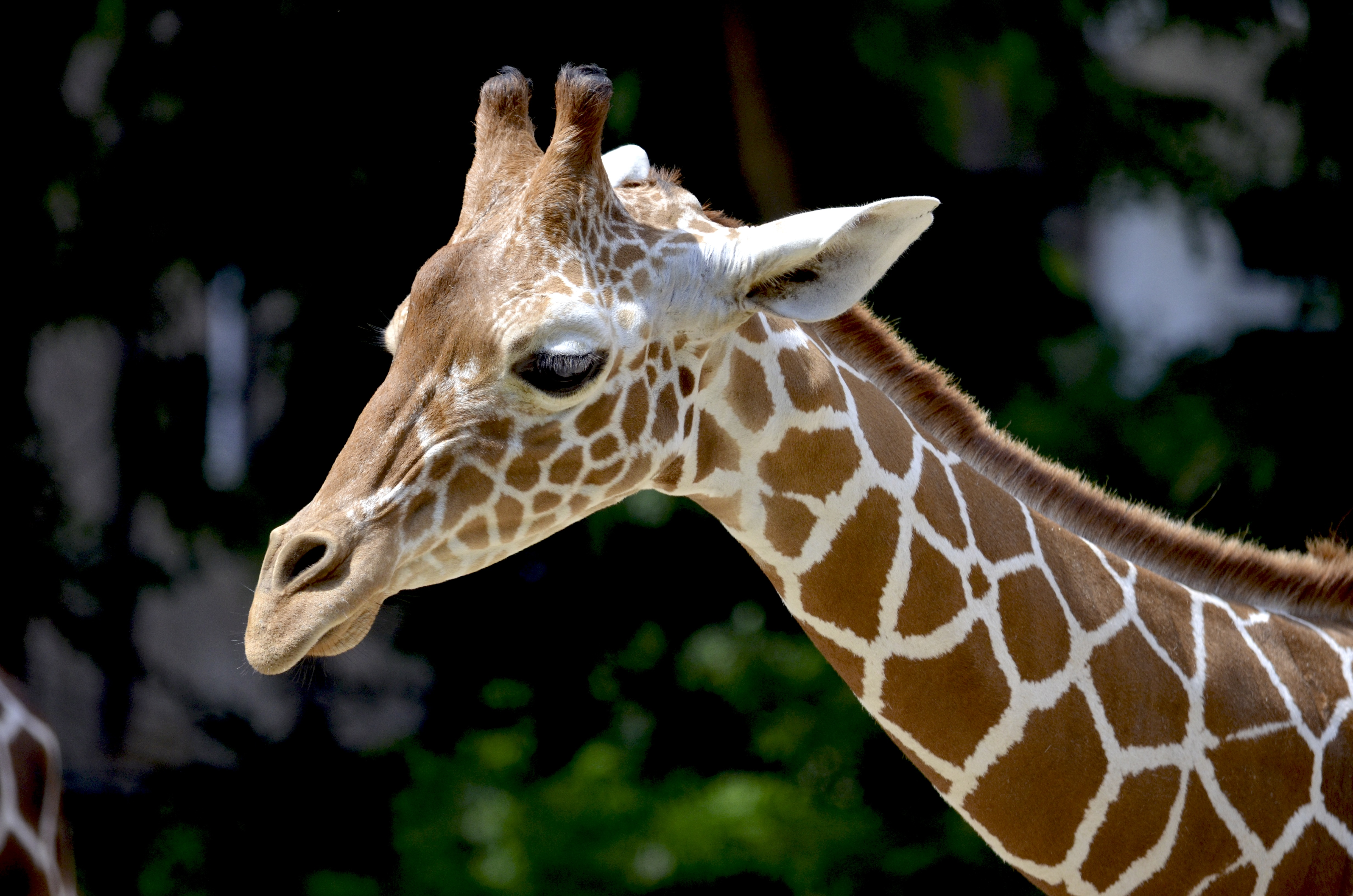 Beautiful Wild Animals Wallpapers Brown Giraffe During Daytime 183 Free Stock Photo