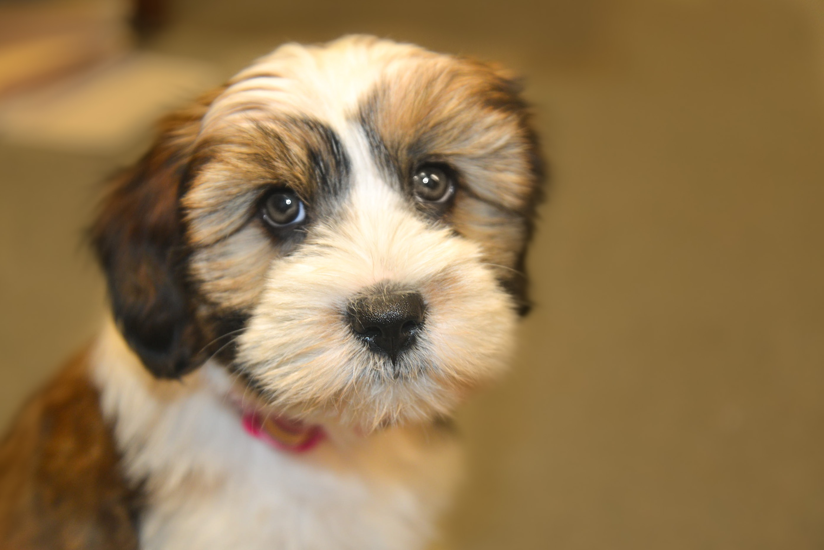 Cute Animal Wallpapers Free Download Close Up Photo Of Shih Tzu Puppy 183 Free Stock Photo