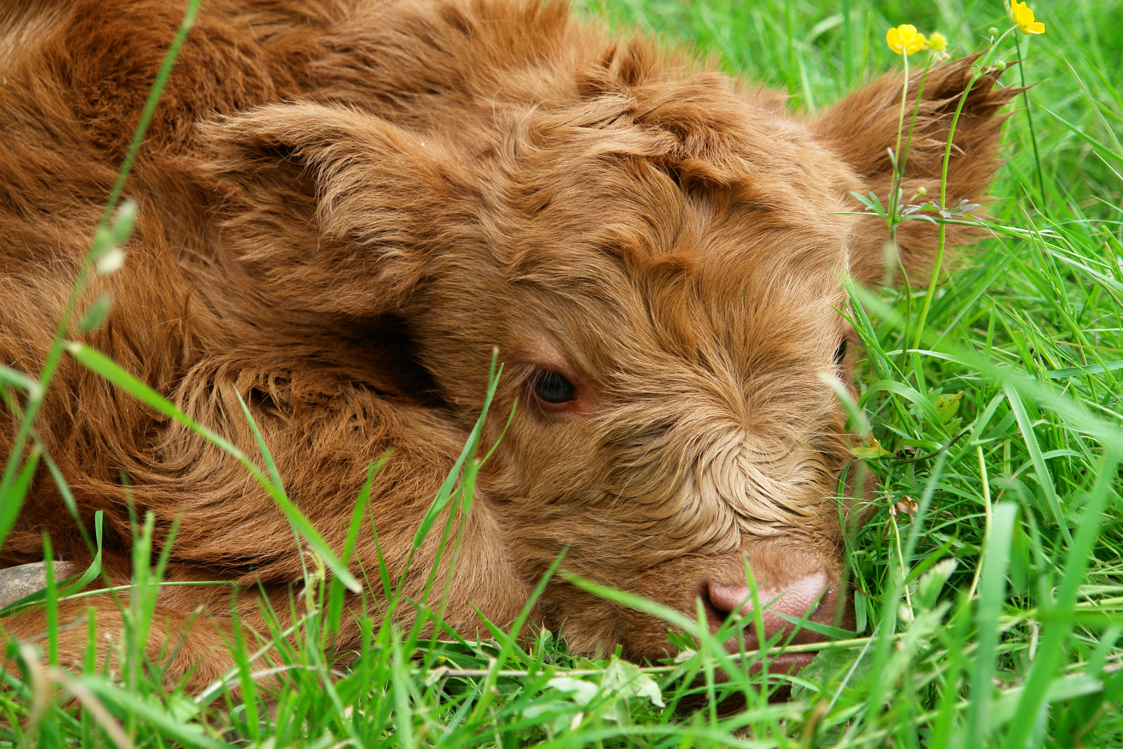 Cute Baby Face Wallpaper Free Stock Photo Of Beef Calf Cow
