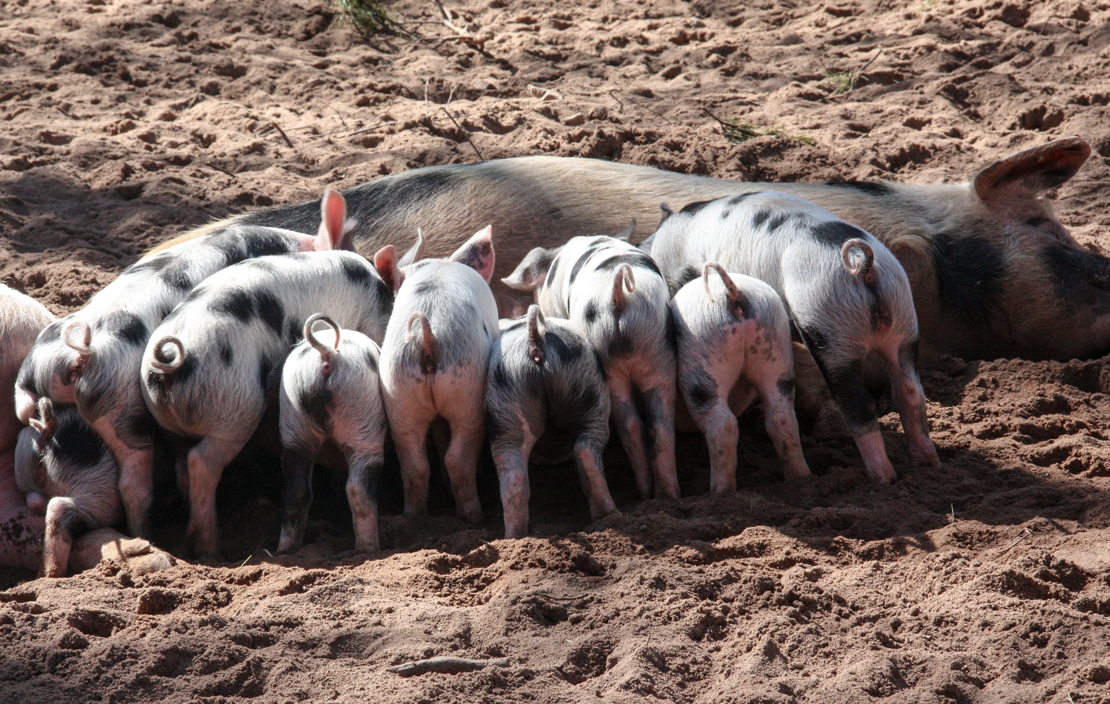 High Definition Animal Wallpapers Black And White Pig Feeding Her Piglets 183 Free Stock Photo
