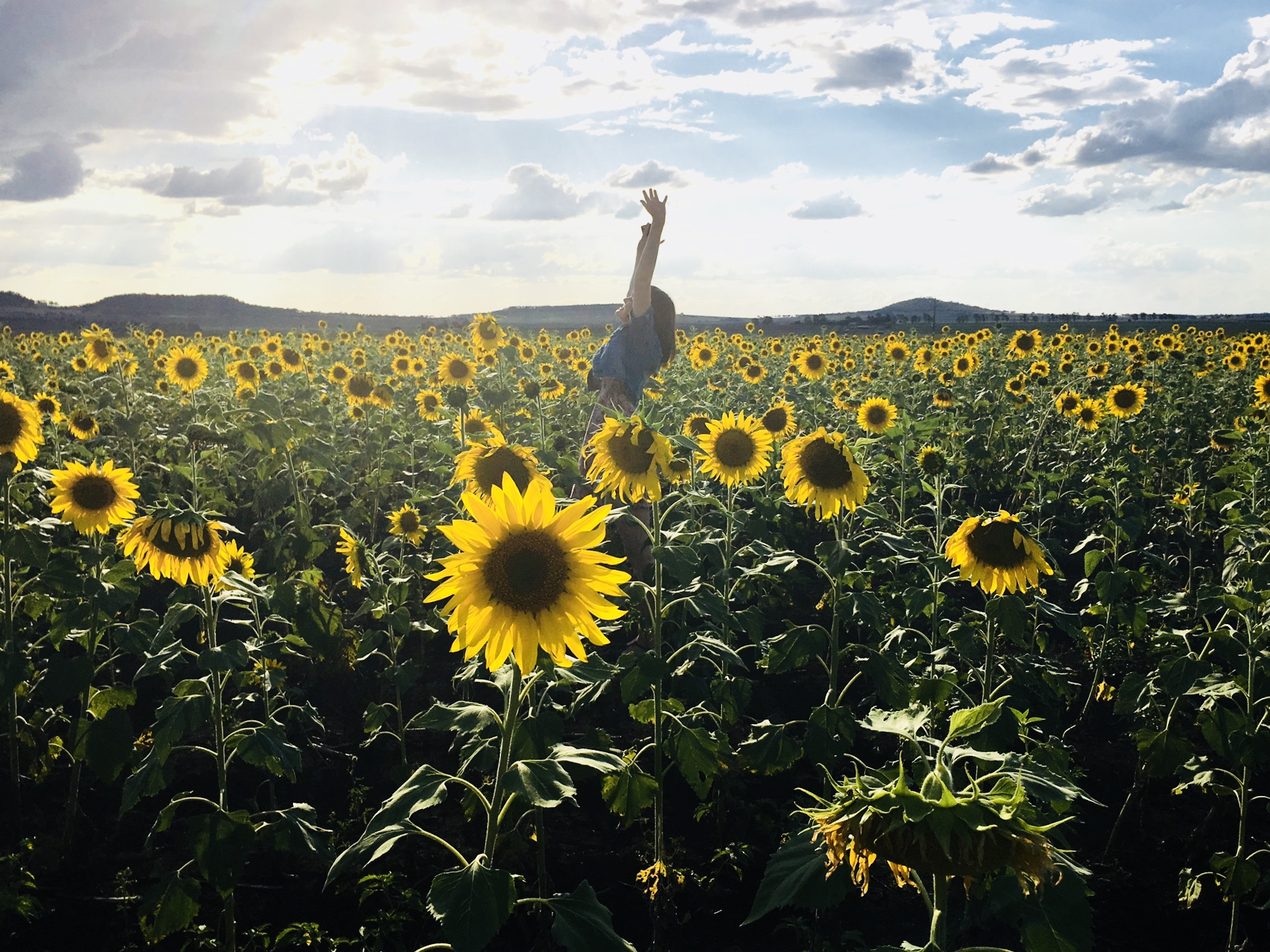 Sunflower Iphone Wallpaper Person In Blue Shirt On Sunflower Field Photo Shot 183 Free