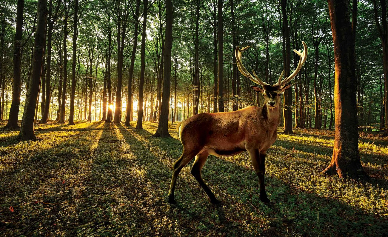 Poster Cerf Cerf Forest Arbre Nature Poster Mural Xxl