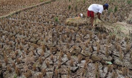 Harga Beras Per September 2013 Icefilmsinfo Globolister Petani Sedang Mengumpulkan Padi Yang Mengalami Kekeringan Di Kampung