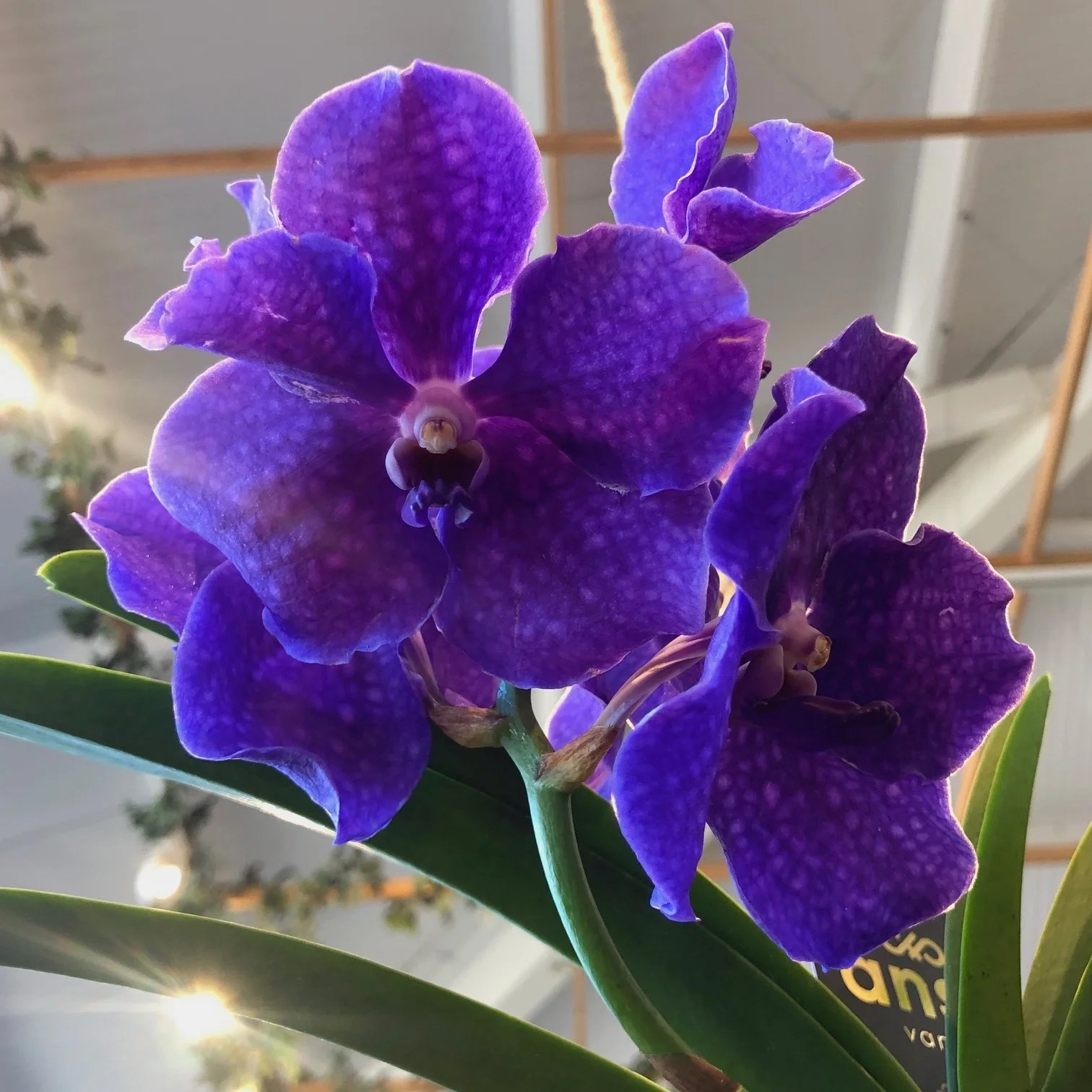 Our Top Tips For Vanda Orchids