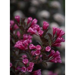 Small Crop Of Spilled Wine Weigela
