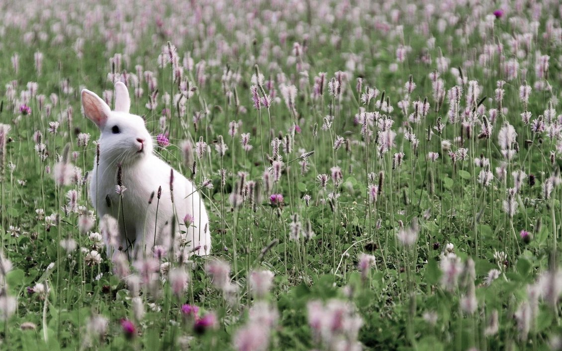 Cute Happy Valentines Day Wallpaper 2015 White Rabbit On The Field With Grass And Flowers