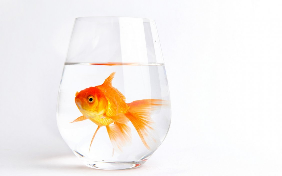 Bugatti Hd Wallpapers Free Download Gold Fish In A Glass With Water
