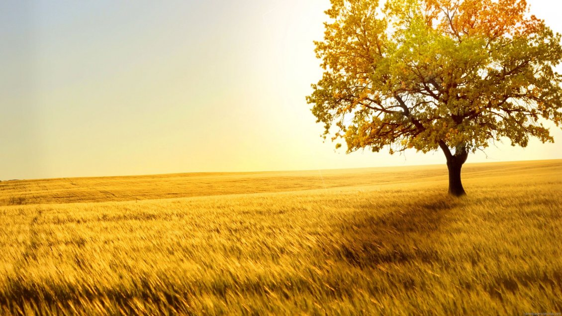 Girls Of The Wilds Wallpaper Golden Field With Wheat In The Sunset Summer Time