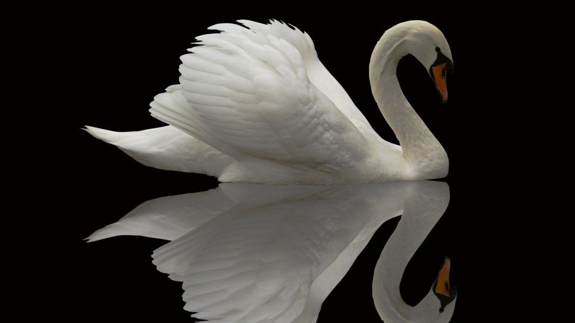 Cute Cartoon Bird Wallpapers A Beautiful Swan In The Mirror On Black Background