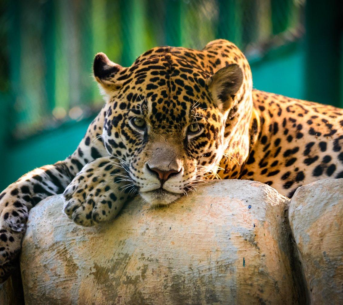 Cute Cartoon Birds Wallpapers A Beautiful Jaguar Resting On The Stones