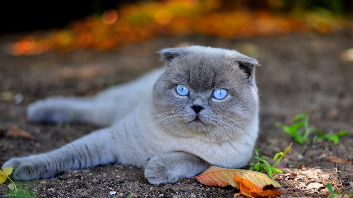 Hd Wallpaper Cars 2015 A Beautiful White Scottish Fold Cat With Blue Eyes