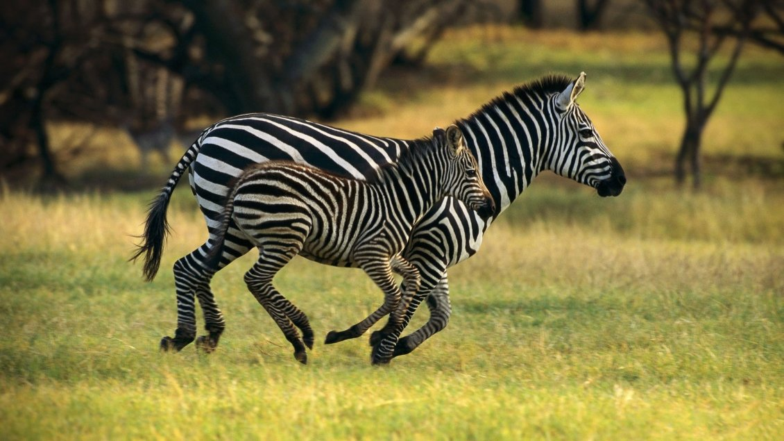 Winter Animal Wallpaper Mother And Child Running In The Jungle Zebra Animals