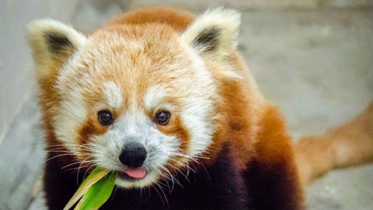Cute Baby Face Wallpaper Cinco Curiosidades Sobre El Panda Rojo Tele 13