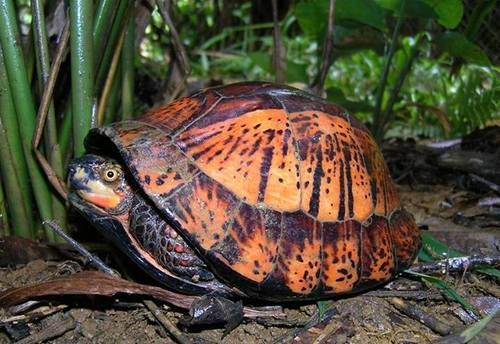 Tiger Wood China Seizes 620 Live Turtles, Most Endangered, In