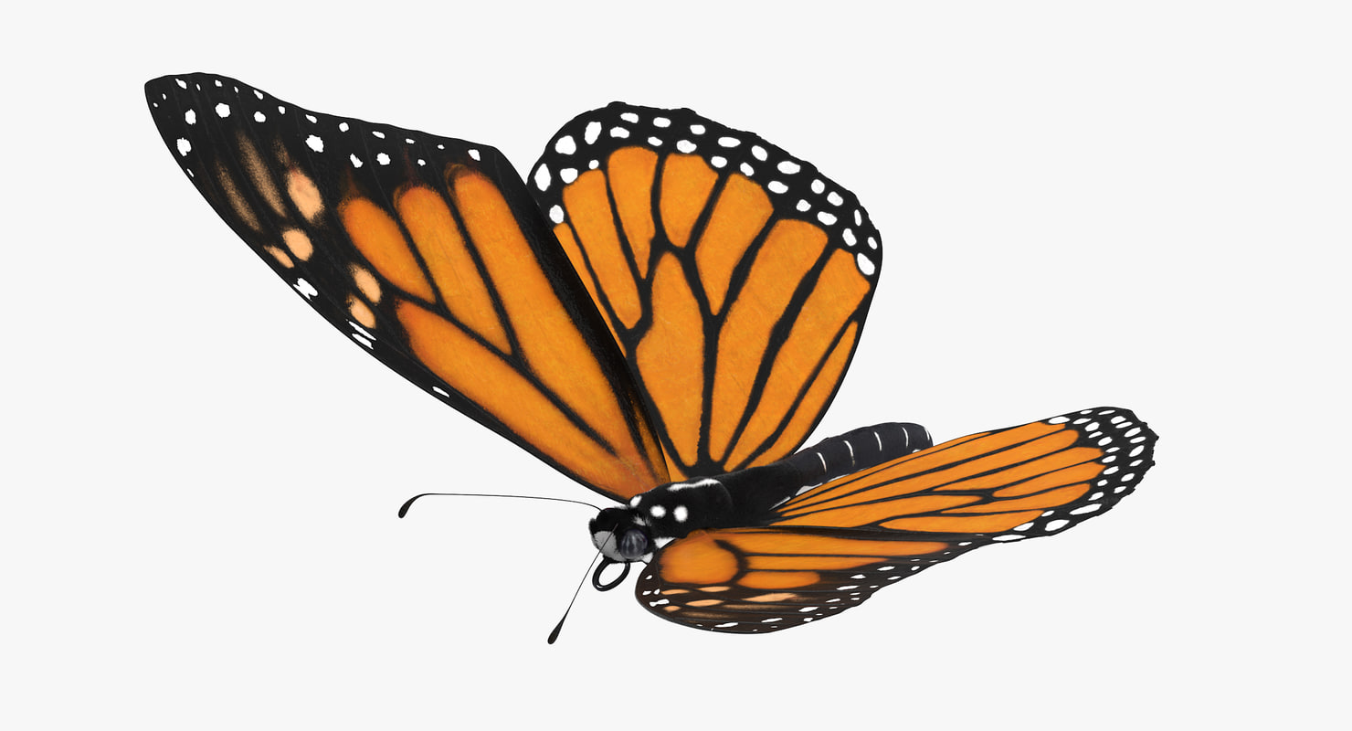 Flying Butterfly Animated Monarch Butterfly Flying 3d Model