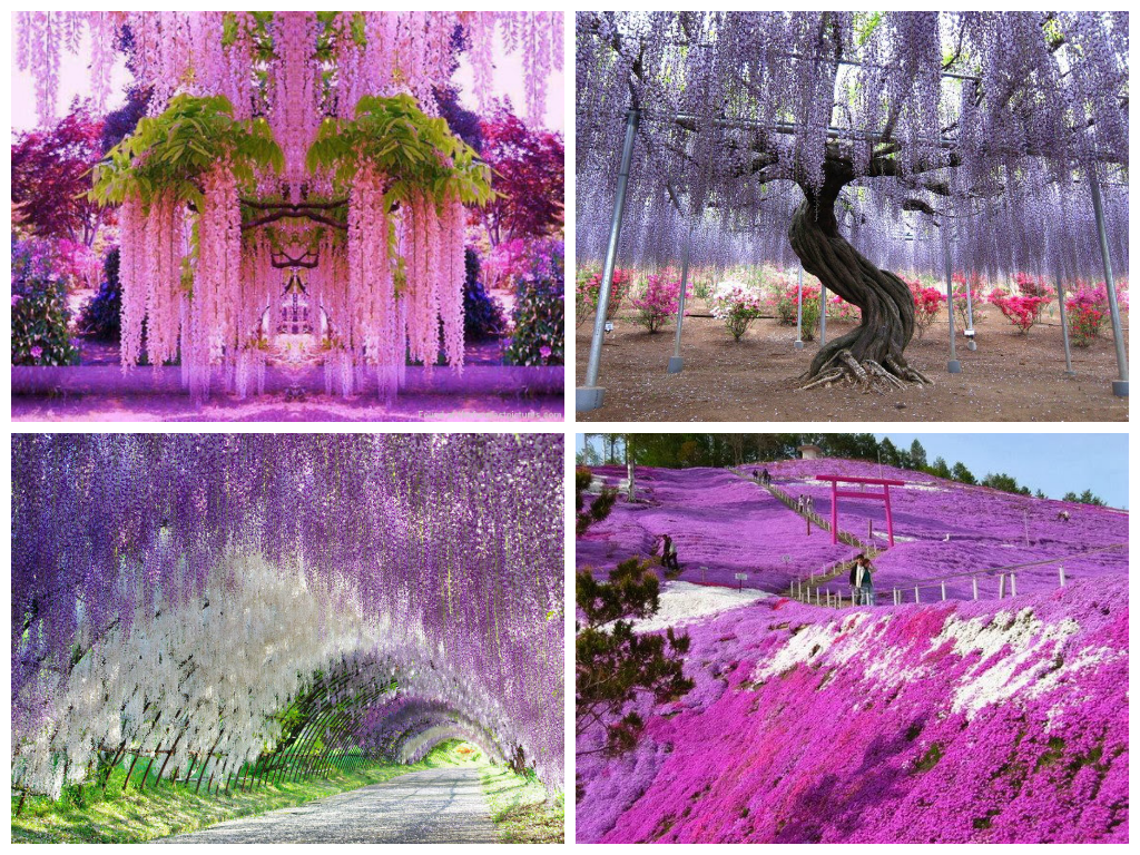 Wisteria Falls Wallpaper Traveling Around Largest Flower Plantations Ua Flowers Com