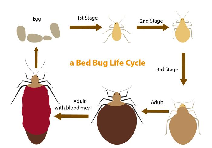 Bed Bug Life Cycle - Download Free Vector Art, Stock Graphics  Images