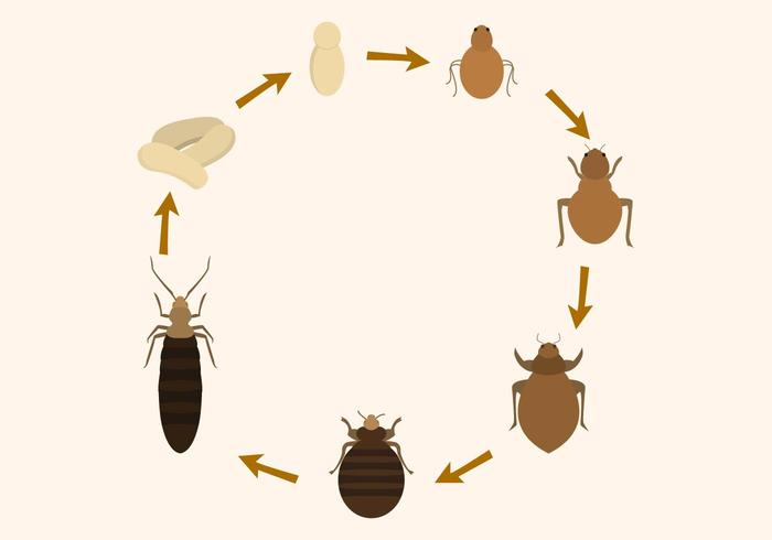 Free Bed Bug Life Cycle Vector - Download Free Vector Art, Stock