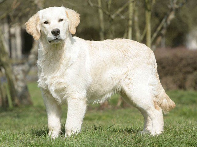 Image For Golden Retriever A Vendre