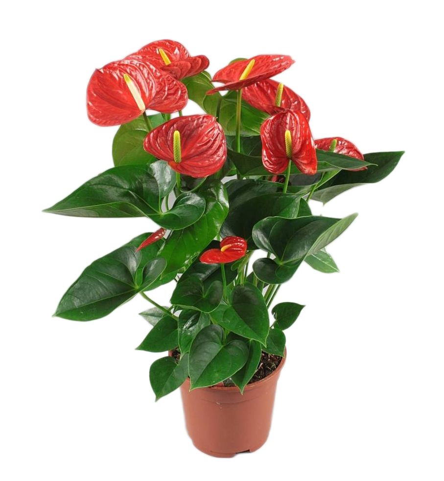 Anthurium Kopen Anthurium Red Winner, - Florastore