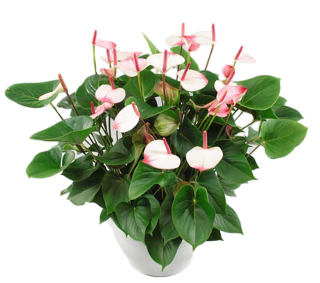 Anthurium Kopen Anthurium Bowl Xl, Tough And Timeless! - Florastore