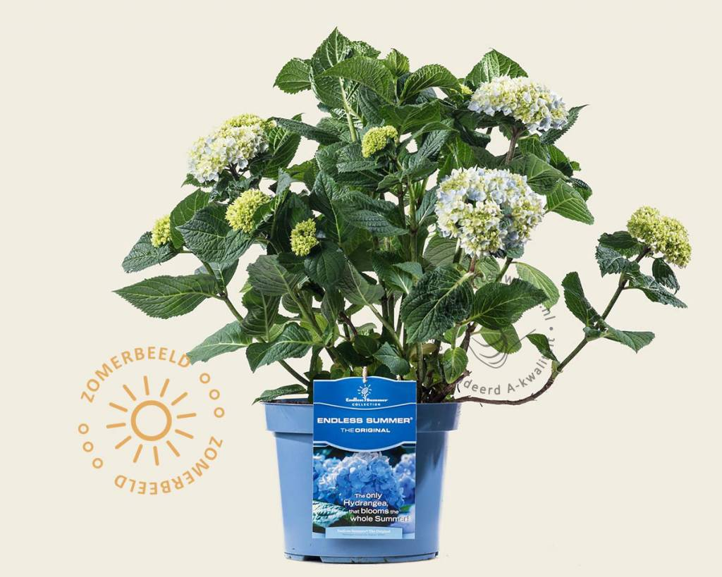 Hortensia Endless Summer Kopen Hydrangea Macrophylla Endless Summer The Bride