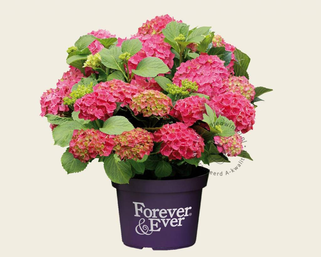 Hortensia Endless Summer Kopen Hydrangea Macrophylla 39forever And Ever 39 Rood