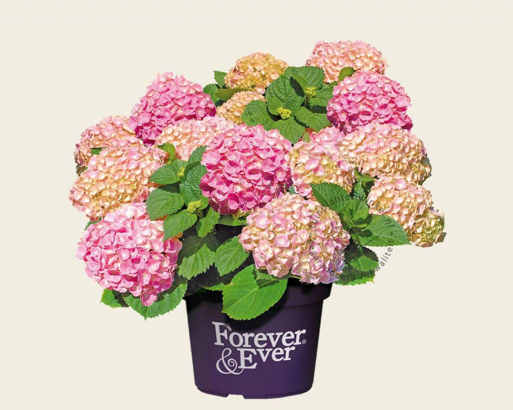 Hortensia Endless Summer Kopen Hydrangea Macrophylla 39forever And Ever 39 Roze