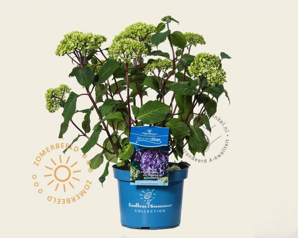 Hortensia Endless Summer Kopen Hydrangea Macrophylla 39endless Summer Bloomstar 39 Endless