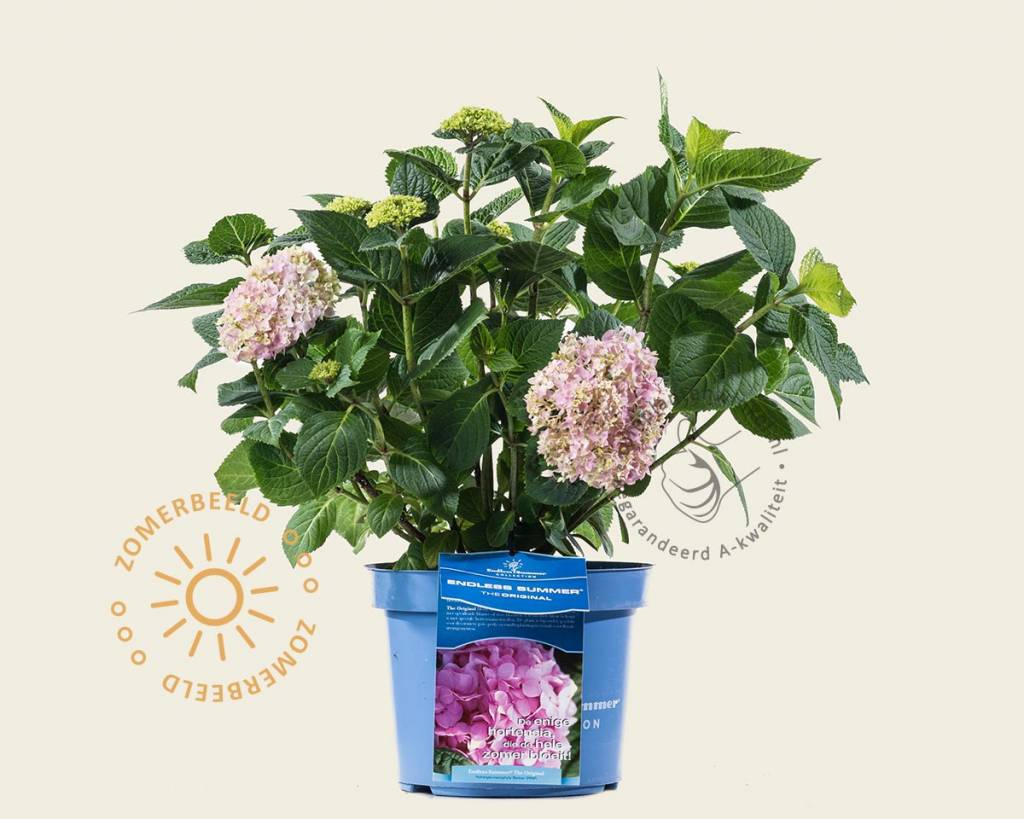 Hortensia Endless Summer Kopen Hydrangea Macrophylla 39endless Summer Pink