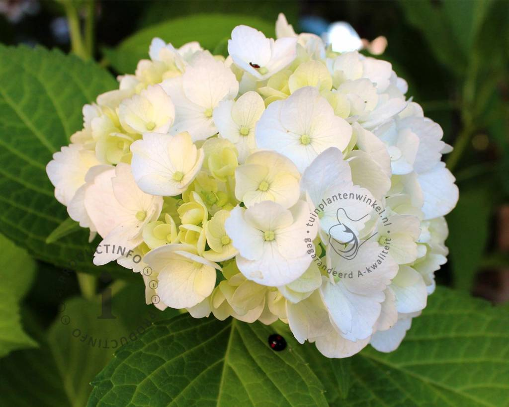 Hortensia Endless Summer Kopen Hydrangea Macrophylla 39endless Summer The Bride