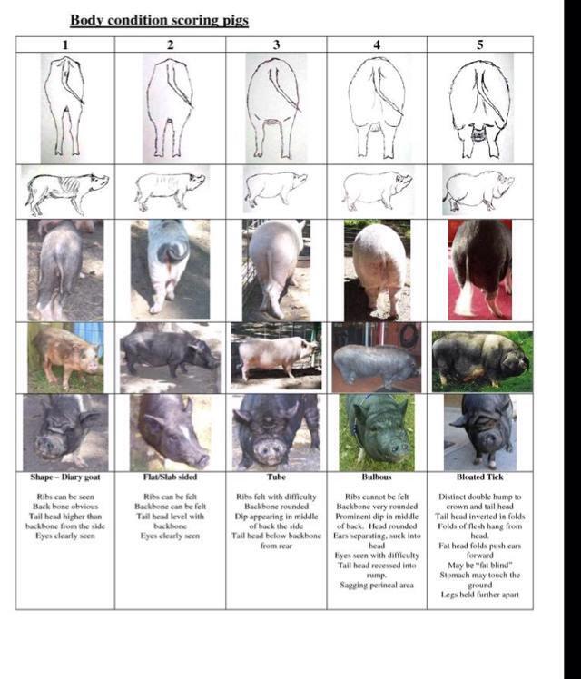 royalminipigs Piggy Care Guide