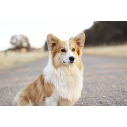 Small Crop Of Corgi Mix Puppies For Sale