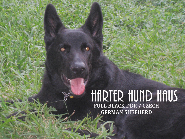 Image For Ddr German Shepherds