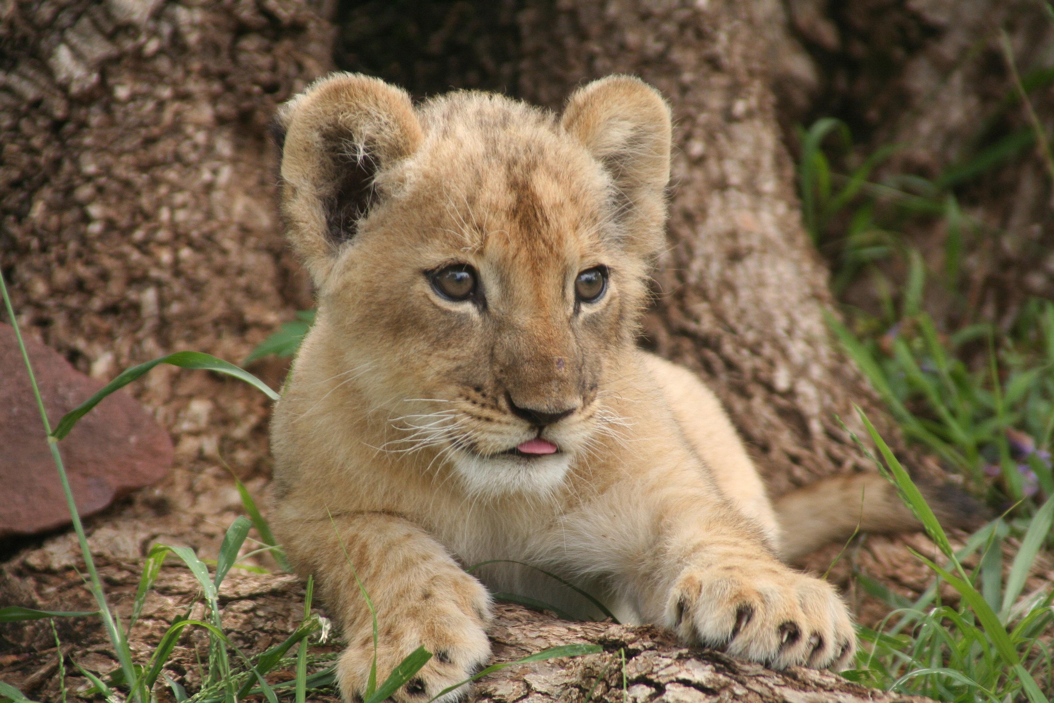 Cute Puppies Wallpaper 1080p Horseback Africa Cute Baby Lion