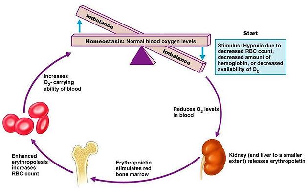 Regulation of Erythropoiesis haematology
