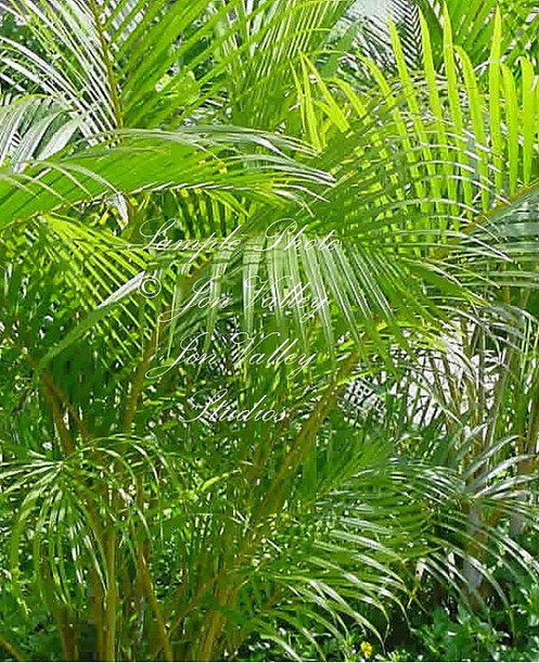 Chrysalidocarpus Lutescens Areca Palm 5 Seeds