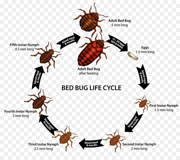 Bed Bugs Life Cycle Heritage Pest Control · Massachusetts