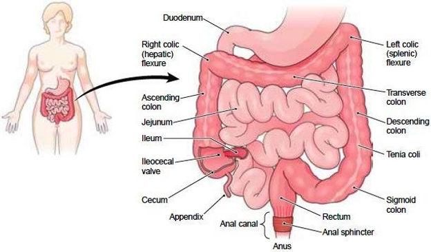Endometriosis and the Bowel Endometriosis Australia Home