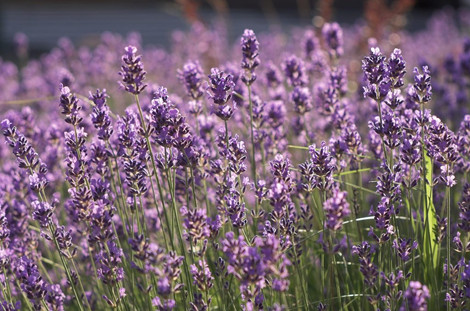 Pruning Lavender | Lavender In Lavender Hilll Products