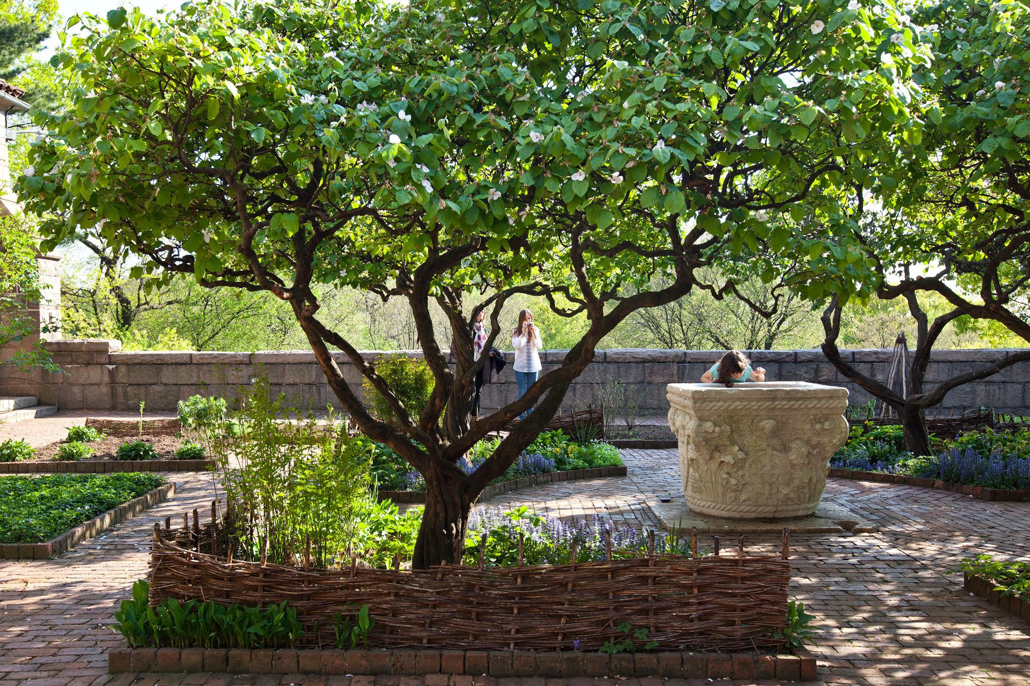 Garden Trees In Praise Of The Misunderstood Quince Tree The New York Times