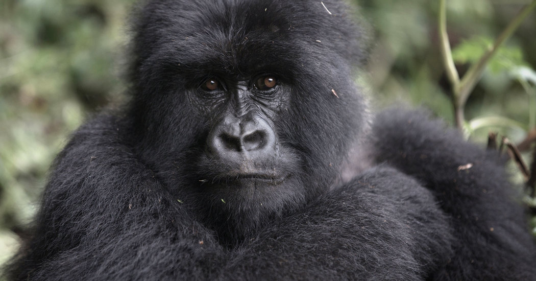 Black Panther Animal Wallpaper Trekking With The Gorillas Of Rwanda The New York Times