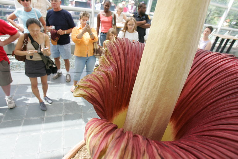 Corpse Flower New York New York Today: Awaiting A Corpse Flower Bloom - The New