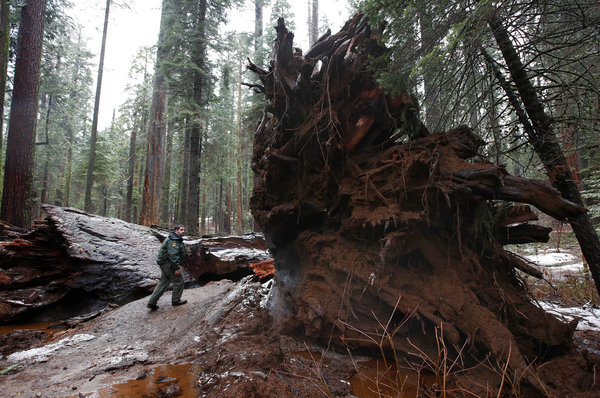 Wallpaper Falling Stars Giant Sequoia Tunnel Tree In California Is Toppled By