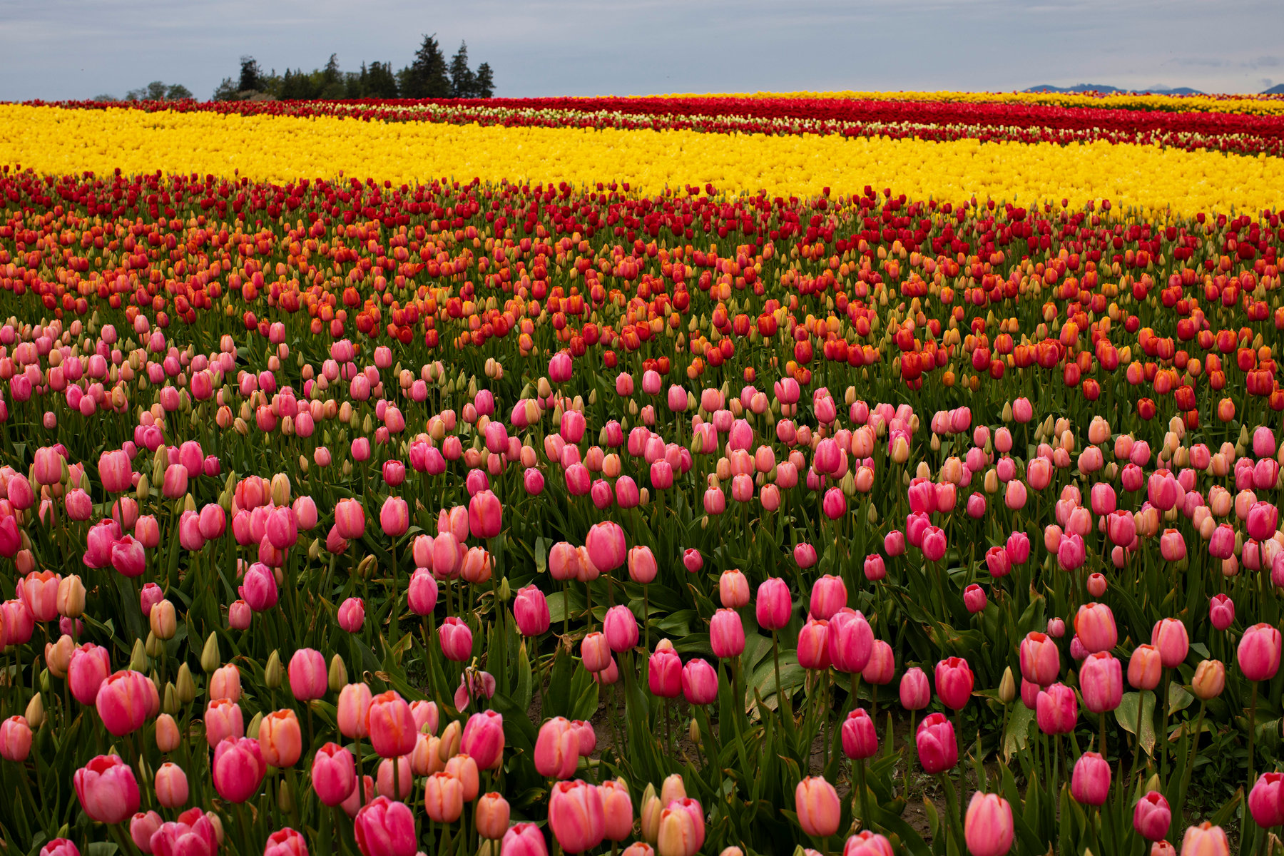 Mother S Day Bouquets How Five Friends Saved A Tulip Farm From Covid 19 The New York Times