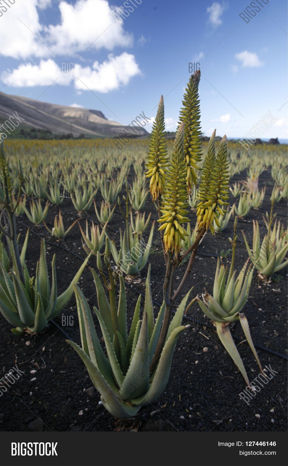 Aloe Vera Kaktus Europe Canary Islands Image Photo Free Trial Bigstock